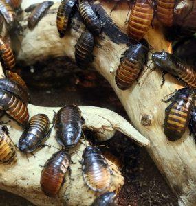 Insectes cafards invasion