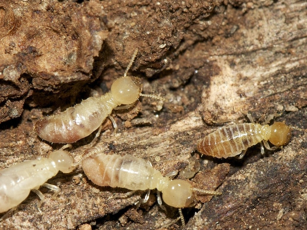 Termites xylophages